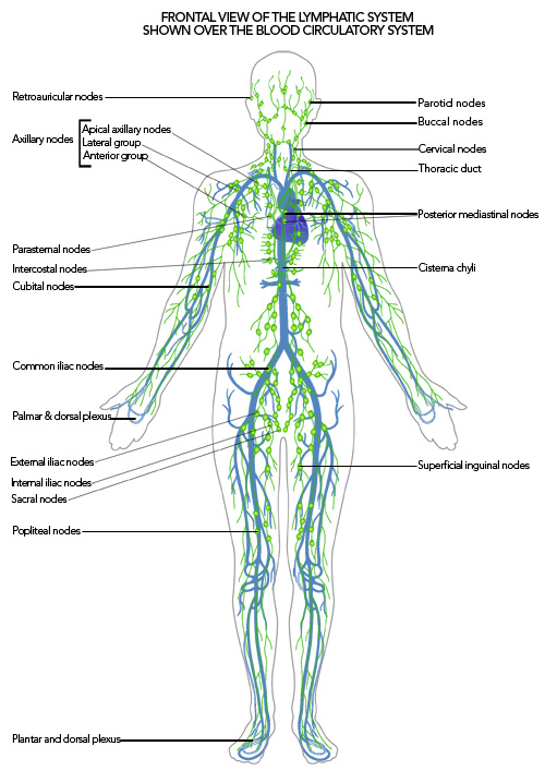 lymphatic-system-over-blood-system5